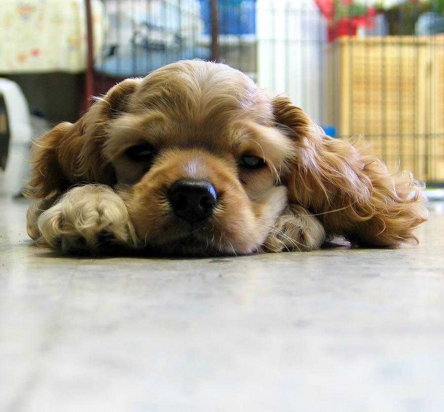 verkiantis mazas suniukas
