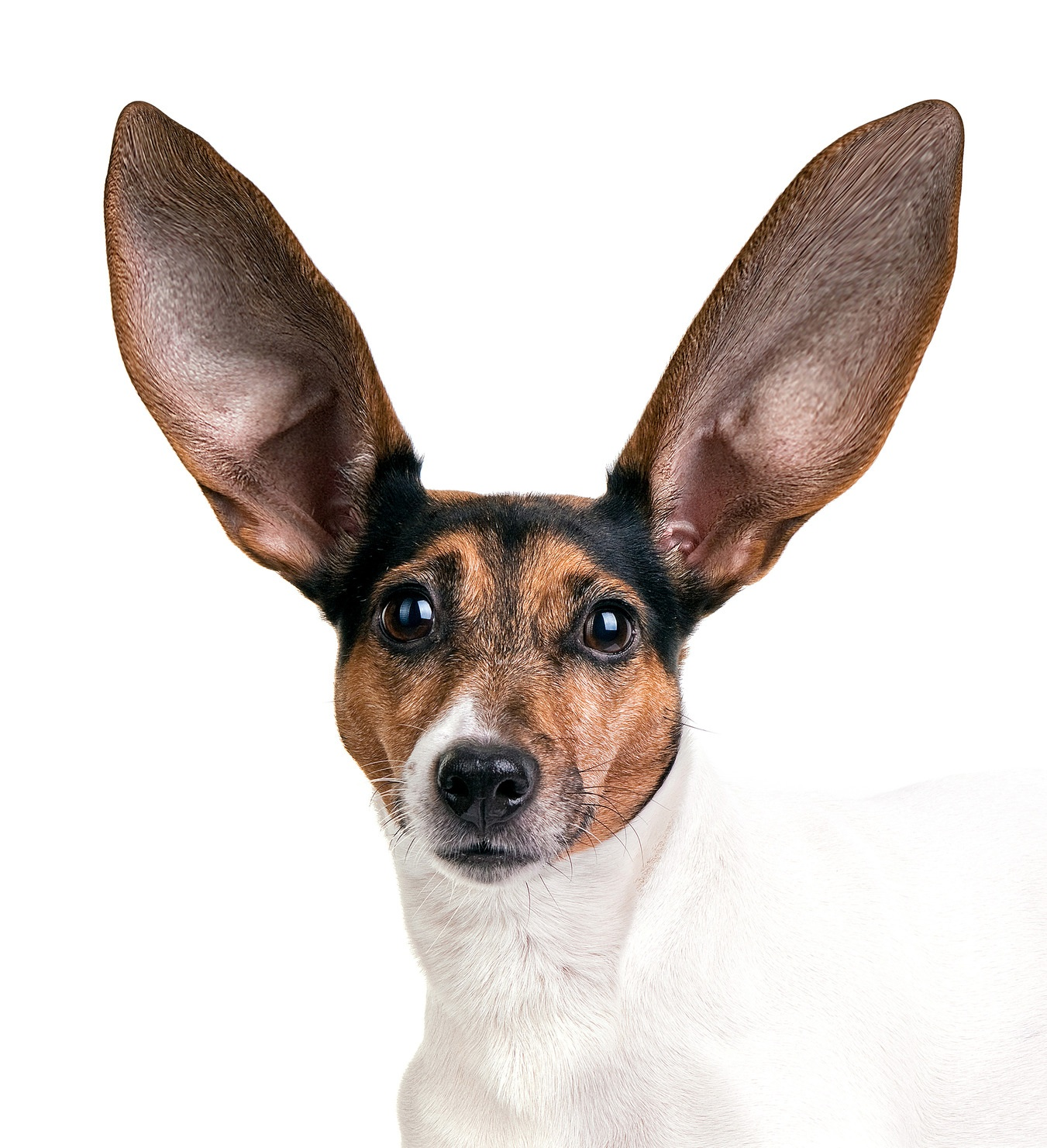 listening_dog_ears